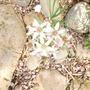 Allium plumerae