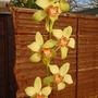 Cymbidium orchid (Cymbidium)