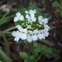 Pachyphragma macrophyllum (Pachyphragma macrophyllum)