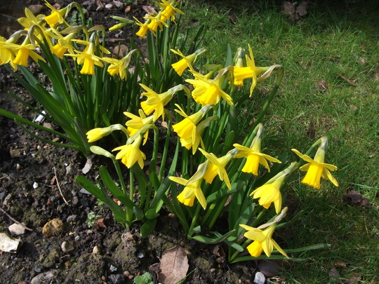 King Alfred Narcissus (Narcissus)