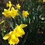 King Alfred Narcissus these are my favourites every year (Narcissus)