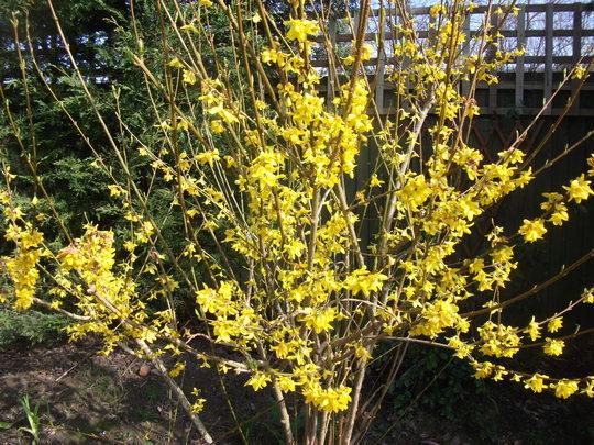 Forsythia intermedia  'Beatrix Farrand' (Forsythia intermedia (Forsythia))