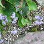 Alliumcyaneum