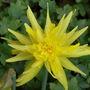 Narcissus_rip_van_winkle_