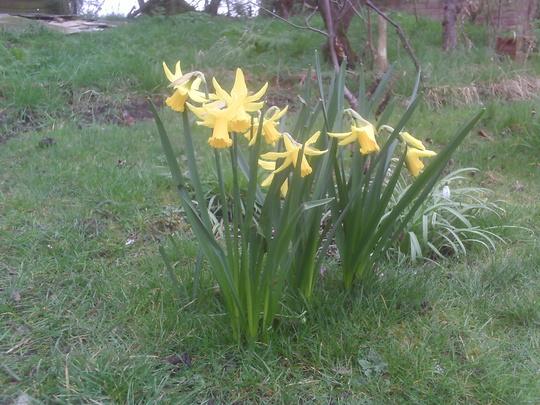 'February Gold' (Narcissus 'February Gold')
