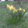 Narcissus_february_gold_