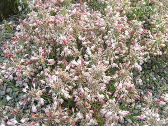 Allium flavum tauricum