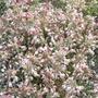 Alliumfalvumtauricum