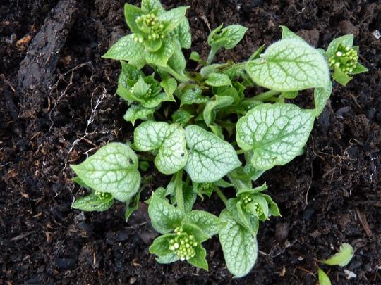 Brunnera Macrophylla 'Mister Morse' (Brunnera macrophylla (Brunnera))