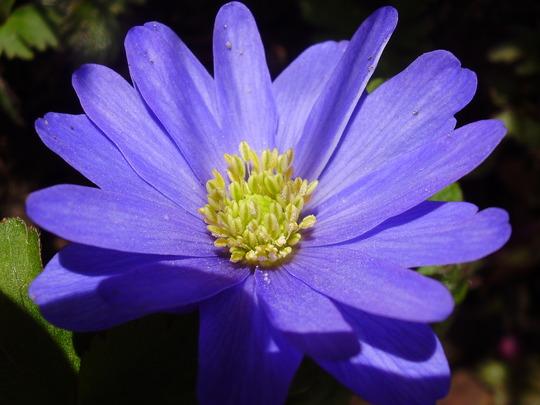 Anemone Blanda blue (Anemone blanda (Anemone))