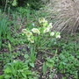 """White Hellebore in my """"woodland"""" area"""