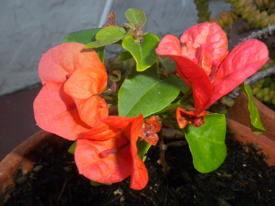 Little Cutting-Grown Orange King Bougainvillea  (Orange King Bougainvillea)