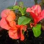 Little Cutting-Grown Orange King Bougainvillea  (Orange King Bougainvillea)