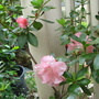 Beginning of Autumn in N.E. Downunder - potted Azaleas are blooming early this year (Rhododendron simsii)