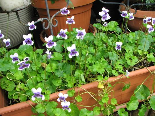Beginning of Autumn in N.E. Downunder - native Viola hederacea is blooming (Viola hederacea)