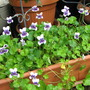 Beginning of Autumn in N.E. Downunder - native Viola hederacea is blooming (Viola hederacea)