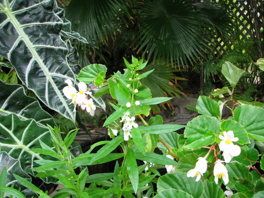 Beginning of Autumn in N.E. Downunder - Begonia semperflorens in bloom (Begonia semperflorens-cultorum)