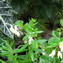Beginning of Autumn in N.E. Downunder - Begonia semperflorens in bloom (Begonia semperflorens-cultorum)