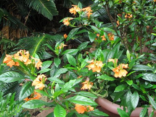 Beginning of Autumn in N.E. Downunder - Crossandra infundibuliformis is still flowering (Crossandra infundibuliformis (Firecracker Flower))