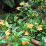 Beginning of Autumn in N.E. Downunder - Crossandra infundibuliformis is still flowering (Crossandra infundibuliformis (Firecracker Flower))