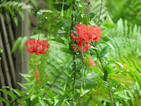Beginning of Autumn Downunder - Hibiscus schizopetalus is flowering once more (Hibiscus schizopetalus (Japanese Lantern or Skeleton Hibiscus))