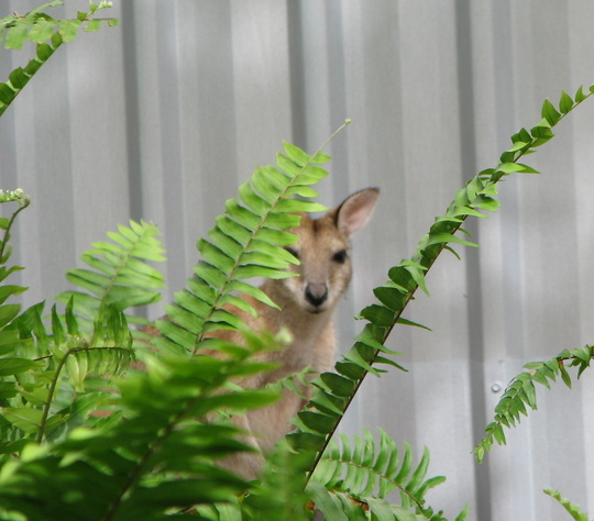 Garden Visitor - Agile Wallaby hiding amongst the ferns