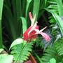 Beginning of Autumn in N.E. Downunder - first bloom on the Justicia brandegeana (Justicia brandegeana (Shrimp Plant))