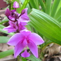 Beginning of Autumn in N.E. Downunder - Bletilla striata flowering (Bletilla striata (Bletilla))