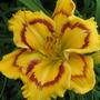 Daylily Terry Lyninger (Hemerocallis)
