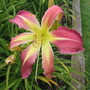 Daylily Tennessee Williams (Hemerocallis)