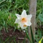 Pink Daff (Narcissus)