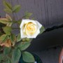 white rose, with a creamy pale yellow center
