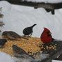 cardinal with juncos and sparrows