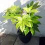 Japanese aralia ~ japonica fatsia (Fatsia japonica (Japanese aralia))