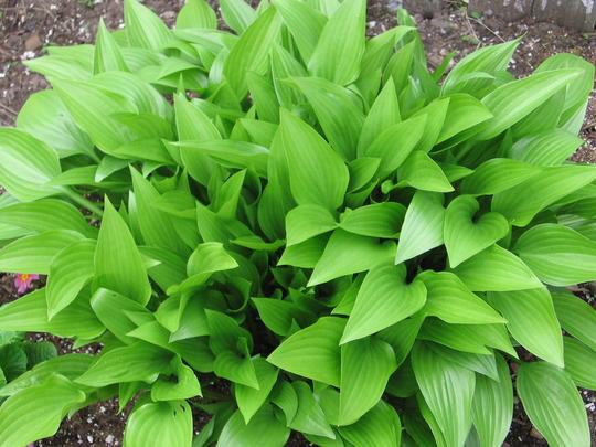 hosta (Hosta lancifolia (Plantain lily))