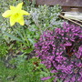 only 0ne daffodil