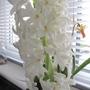 White Hyacynth from Morrisons  (Hyacinthus orientalis (Hyacinth))
