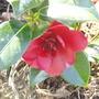 Camellia_bob_hope_first_flower