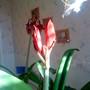 Amaryllis on living room table 19-03-2011 001 (Amaryllis)