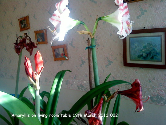 how to look after a amaryllis plant