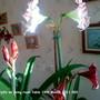 Amaryllis on living room table 19-03-2011 002 (Amaryllis)