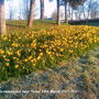 Daffs on roundabout near Tesco 19-03-2011 001 (Daffodil)