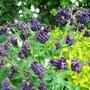 Aquilegia - May 2008 (Aquilegia vulgaris (Columbine))
