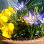 Violas & Crocuses on balcony railing 19-03-2011 001