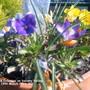 Violas Crocuses on balcony railing 19-03-2011 002