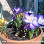 Violas & Crocuses on balcony railing 19-03-2011 003