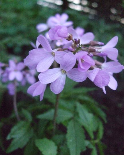 Cardamine quinquefolia (Cardamine quinquefolia)