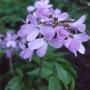Cardamine_quinquefolia