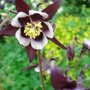 Aquilegia 'William Guinness' - May 2008 (Aquilegia vulgaris (Columbine))