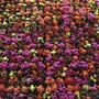 Kalanchoe wall at Canada Blooms, Toronto